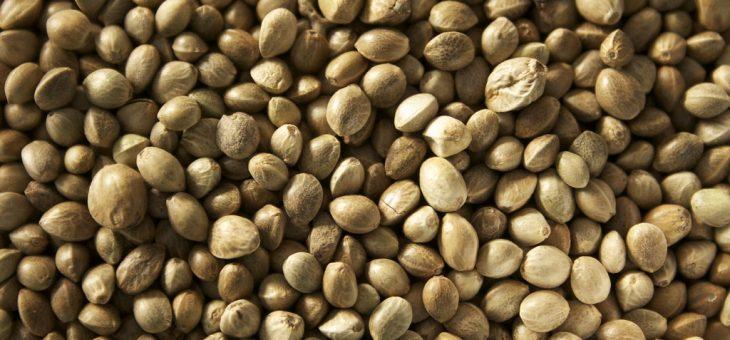 זרעי קנאביס נקביים – מהם ואיך יוצרים אותם?